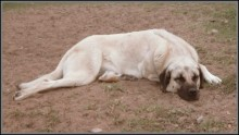 turkish-anatolian-shepherd-dog