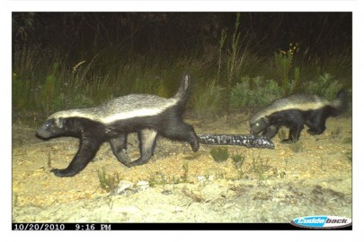 Battle between Honey Badger and Bee-keepers