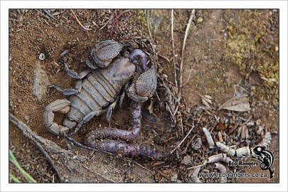 Black scorpion (Opisthacanthus capensis)