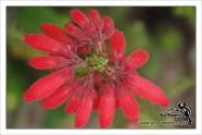 fire-heath-cape-flora