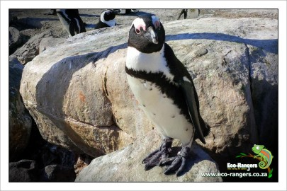 Stoney Point African Penguin Colony