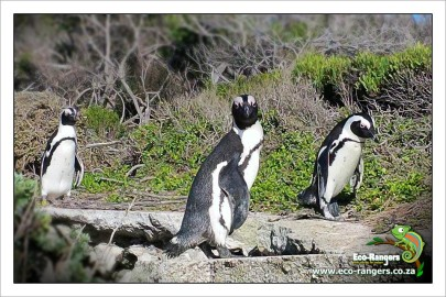 african-penguin-have-unique-markings