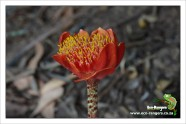 haemanthus-coccineus-april-fool-or-blood-flower